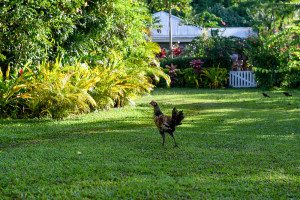 chicken, Matangi Island resort, Fiji