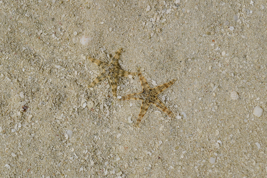 Two cute little starfish on the shallow waters of Malolo Lai Lai Island